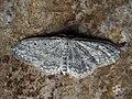 Idaea seriata - Small dusty wave - Малая пяденица крапчатая (43774637964).jpg