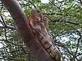 Iguana de Venezuela Falcon.jpg