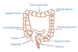 colic flexures - wikipedia, Cephalic Vein
