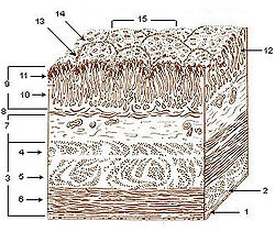 Illu stomach layers.jpg