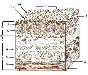 Layers of stomach wall.