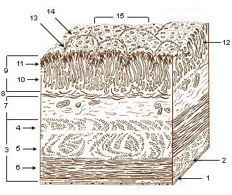Gastric glands - Image: Illu stomach layers