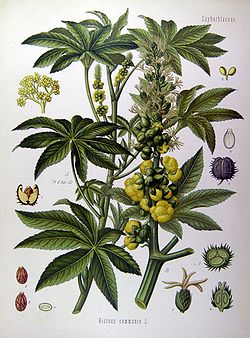 Planta de rícino (mamona).