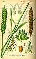 Illustration Triticum aestivum1.jpg