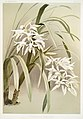 Illustration from Reichenbachia Orchids by Frederick Sander, digitally enhanced by rawpixel-com 066.jpg