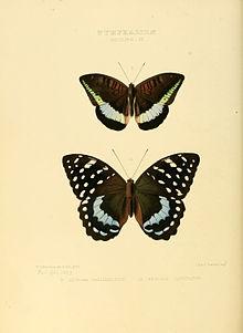 Garcinia - WikiVisually