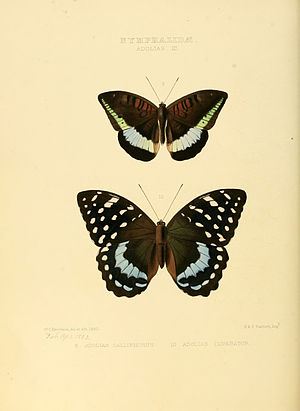 Archduke (butterfly) - Image: Illustrations of new species of exotic butterflies Adolias III