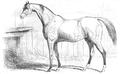 Illustrirte Zeitung (1843) 12 182 6 Johnny-Boy, Vollbluthengst des Herrn Chester.PNG