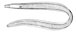 Cutthroat eel - Muddy arrowtooth eel, Ilyophis brunneus. From plate 43 of Oceanic Ichthyology by George Brown Goode and Tarleton Hoffman Bean, published 1896.