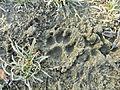 Impronta di cane.JPG