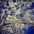 In bloom (33791676526).jpg