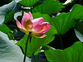 India - Srinagar - 008 - lotus flower on Nagin lake (3919352498).jpg