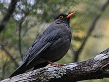 Indian Blackbird.jpg