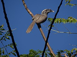 Indian Grey Hornbill - Ocyceros birostris - DSC03965.jpg