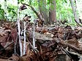 Indian Pipe - Flickr - treegrow (4).jpg