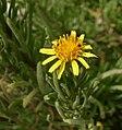 Inula crithmoides Sliema Malta 01.jpg