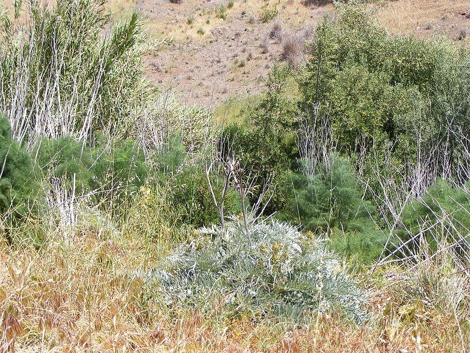Invasive weeds in the adelaide hills