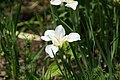 Iris sibirica 0zz.jpg