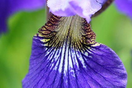 Iris versicolor SCA-0752.jpg