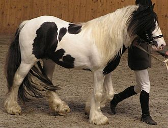 Sabino horse - This tobiano has an irregular, wrap-around blaze and chin white, the tobiano markings have ragged edges, extend high on the legs, and some roaning is visible. Thus, this horse may carry both tobiano and sabino genetics.