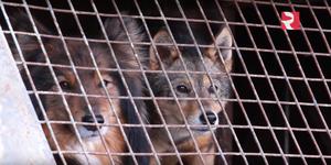 Sulimov dog - Image: Jackal training RBT Hvideo 10