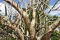 Jatropha curcas 4zz.jpg