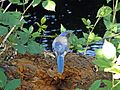Jay - Western Scrub (Aphelocoma califorica) 11 - Salem, Or. (b).JPG
