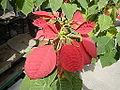 JfPoinsettia9615flowersfvf 05.JPG