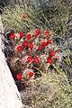 Joshua Tree National Park - Mojave Mound Cactus (Echinocereus triglochidiatus) - 05.JPG