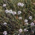 Junellia lavandulifolia, habit (8727706116).jpg