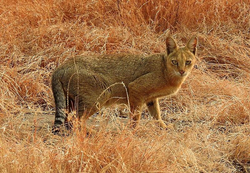 https://upload.wikimedia.org/wikipedia/commons/thumb/7/73/Jungle_Cat_Felis_chaus_by_Dr._Raju_Kasambe_DSCN7957_%282%29.jpg/800px-Jungle_Cat_Felis_chaus_by_Dr._Raju_Kasambe_DSCN7957_%282%29.jpg