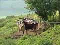 Jungvieh auf der Weide bei Hopferbach - panoramio.jpg