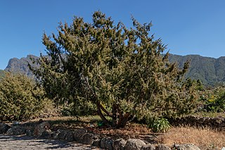 <i>Juniperus cedrus</i> species of plant