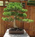 Juniperus chinensis 'Torulosa'.jpg