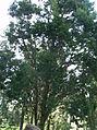 Juniperus communis.jpg