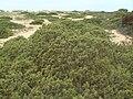 Juniperus phoenicea 5.JPG