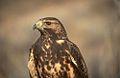 Juvenile Swainson's Hawk.jpg