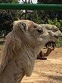 Kamel im Zoo.jpg