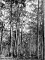 Karri forest in Primer of Forestry Poole 1922.png