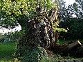 Kastanienbaum im Dorfkern von Karneid.jpg