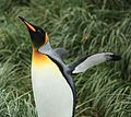 King Penguin amid Tussock Grass (5720098312).jpg