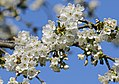 Kirschblüte in Sachsen..2H1A9960OB.jpg