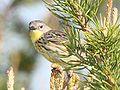 Kirtland's Warbler - female.jpg