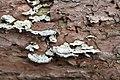 Klein Leeuwenhorst - Paarse dennenzwam (Trichaptum abietinum) v1.jpg