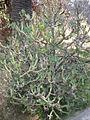 Kleinia neriifolia 1c.JPG