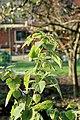 Kluse - Physalis peruviana - Kapstachelbeere 05 ies.jpg