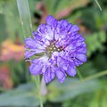 Knautia arvensis in Haute-Savoie (1).jpg