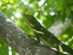 Knight Anole on a branch 5.JPG