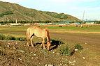 Koń mongolski w Parku Narodowym Gorchi-Tereldż 06.JPG