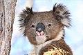Koala (Phascolarctos cinereus) (32147097347).jpg